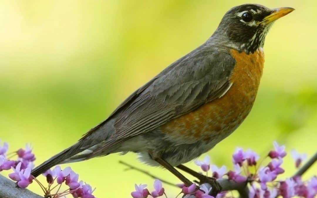 Mindfulness, Cognitive Therapy and the Robin at My Window